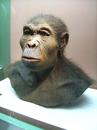 두개골 화석을 바탕으로 만든 호모 하빌리스 상상도. 오스트랄로피테쿠스와 호모 에렉투스의 과도기적 형태를 보인다. 아직 호모 하빌리스의 몸통 화석이 발견되지 않았기 때문에  그 실체는 여전히 논란 중이다. - 위키피디아 제공